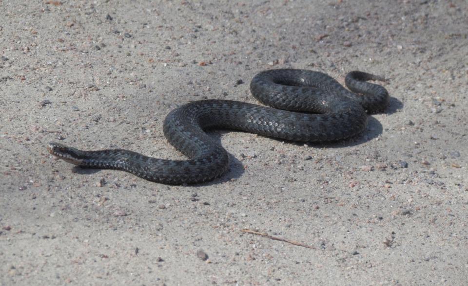 Käärme Lemmikkinä